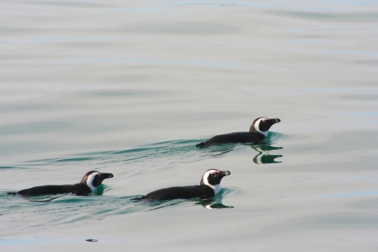 African Penguins out for a swim