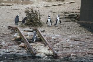 Ladder penguins
